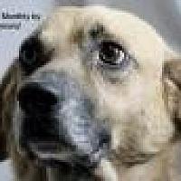 Labrador Retriever Mix Dog for adoption in Jackson, Mississippi - Diogee (D O G)