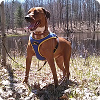 Mountain Cur/Boxer Mix Dog for adoption in Gaylord, Michigan - Flash