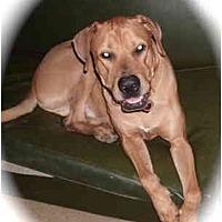 Adopt A Pet :: Blue - Dayton, OH