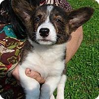 Adopt A Pet :: Corgi Pup 1