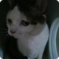 Adopt A Pet :: Valentino - Hamilton, ON