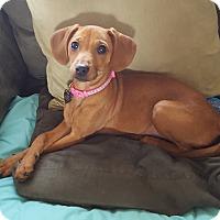 Adopt A Pet :: Gabby 2016 (m/c) - Chesterfield, MI