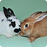 Chinchilla, Standard Mix for adoption in Chesterfield, Missouri - Penny and Miranda
