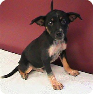 German Shepherd Dog/Labrador Retriever Mix Puppy for adoption in Maynardville, Tennessee - Marty