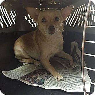 Chihuahua Mix Dog for adoption in Washington, D.C. - Ronny ($200 adoption fee)