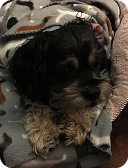 Shih Tzu/Schnauzer (Miniature) Mix Dog for adoption in Wilmington, Massachusetts - Toby:medical hold
