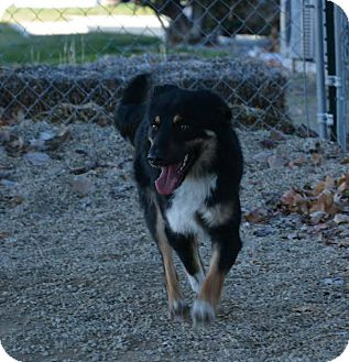 Shepherd (Unknown Type) Mix Puppy for adoption in Meridian, Idaho - Harley