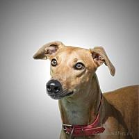 Adopt A Pet :: Harriet - Woodinville, WA