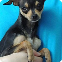 Adopt A Pet :: LOLLY - Joplin, MO