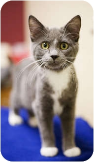 Domestic Shorthair Kitten for adoption in Chicago, Illinois - Bubbles