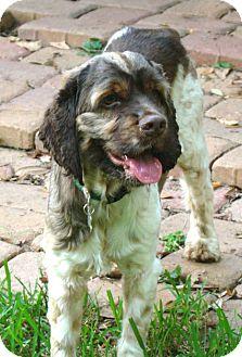 Cocker Spaniel Dog for adoption in Sugarland, Texas - Blaine