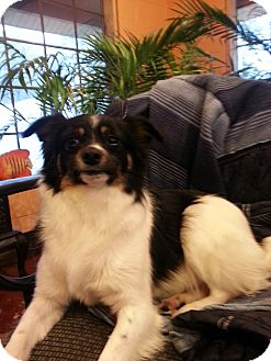 Papillon/Terrier (Unknown Type, Small) Mix Dog for adoption in Windham, New Hampshire - PePe' $100 off