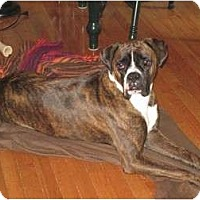 Adopt A Pet :: Duke - Grafton, MA