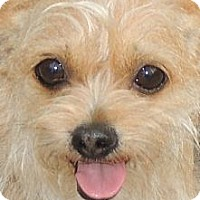 Adopt A Pet :: Tiny Tootsie - La Habra Heights, CA