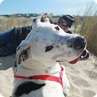 Adopt A Pet :: Pongo - Portland, OR