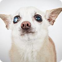 Adopt A Pet :: Lana Turner - New York, NY