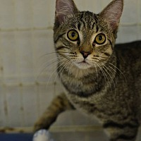 Domestic Shorthair Kitten for adoption in Beacon, New York - Tabby