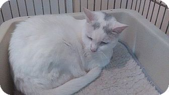 Domestic Shorthair Cat for adoption in Tampa, Florida - Roxy