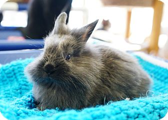 Lionhead Mix for adoption in Montclair, California - Rubio