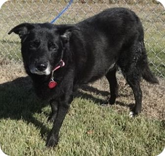 Labrador Retriever Mix Dog for adoption in Olive Branch, Mississippi - Maxie