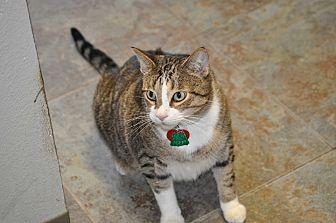 Domestic Shorthair Cat for adoption in Orlando, Florida - Mooch