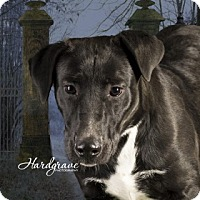 Labrador Retriever/Labrador Retriever Mix Puppy for adoption in Clarksville, Arkansas - Jill