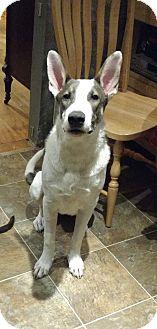 German Shepherd Dog Mix Dog for adoption in Madison, Wisconsin - Jekyll:So SMART! (NJ)