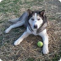 Adopt A Pet :: Keno - Harvard, IL
