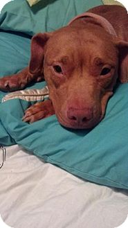 American Staffordshire Terrier Mix Dog for adoption in Long Beach, New York - Riley