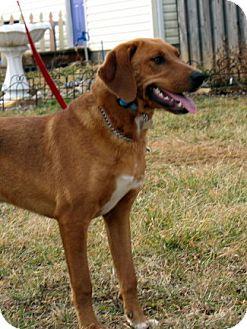 Treeing Walker Coonhound/Labrador Retriever Mix Dog for adoption in Floyd, Virginia - Coltrane