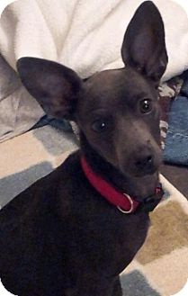 Italian Greyhound/Chihuahua Mix Puppy for adoption in Indian Trail, North Carolina - Wison