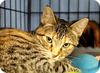 Domestic Shorthair Cat for adoption in Houston, Texas - CC (Cautious Cat)