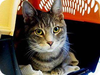 Domestic Mediumhair Cat for adoption in Belleville, Michigan - Peter
