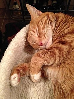 Domestic Shorthair Cat for adoption in Toluca Lake, California - Miss Garfield
