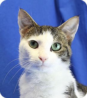 Domestic Shorthair Cat for adoption in Winston-Salem, North Carolina - Lance