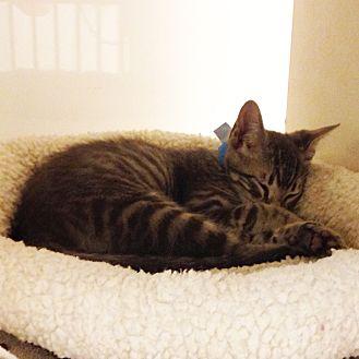 Domestic Shorthair Kitten for adoption in Dallas, Texas - Lance