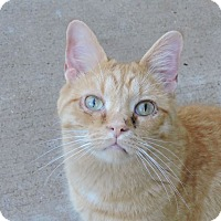 Domestic Shorthair Cat for adoption in MARENGO, Illinois - Jerry