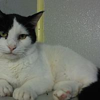 Domestic Shorthair Cat for adoption in Dallas, Texas - TRISTA