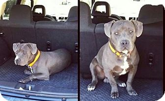 American Pit Bull Terrier Dog for adoption in Richmond, California - Oakley