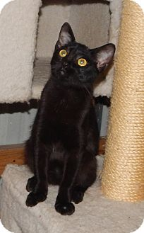 Bombay Kitten for adoption in Plano, Texas - PARADISE - BOMBAY MIX BEAUTY!