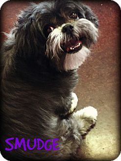Shih Tzu Dog for adoption in Phoenix, Arizona - SMUDGE