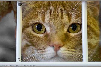Domestic Shorthair Cat for adoption in Houston, Texas - NAOMI