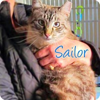 Adopt A Pet :: Sailor (Lynx Point Siamese) - York, PA
