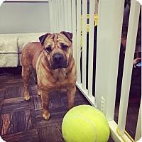 Adopt A Pet :: Dezi - Seattle, WA