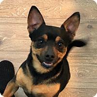 Chihuahua/Dachshund Mix Dog for adoption in Holliston, Massachusetts - Boudine