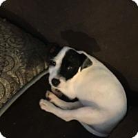Adopt A Pet :: Little Annie - Houston, TX