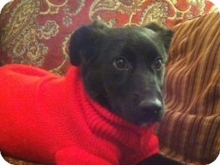 Labrador Retriever/Shepherd (Unknown Type) Mix Dog for adoption in Lincolnton, North Carolina - Izzy