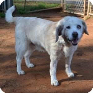 Golden Retriever Mix Dog for adoption in Athens, Georgia - Daisy