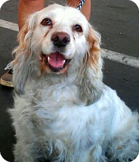 Cocker Spaniel Dog for adoption in Scottsdale, Arizona - Lilith