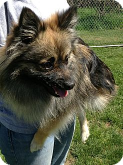 Pomeranian/Silky Terrier Mix Dog for adoption in New Milford, Connecticut - Simba